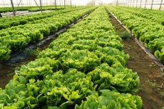 Coltivi l'insalata in serra immagini stock
