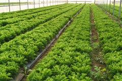 Coltivi l'insalata in serra fotografia stock libera da diritti