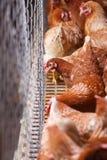 Coltivi le galline della deposizione delle uova, viventi negli spazi limitati Immagine Stock Libera da Diritti