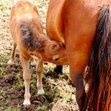 Coltsäugling stockfoto