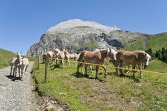Colts e cavalos durante o verão, com o Plattkofel no fundo Fotos de Stock Royalty Free