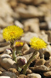 Colts Foot - Tussilago farfara Royalty Free Stock Images