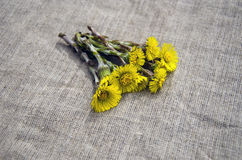 Colts foot Tussilago farfara medical herb on linen cloth Stock Photography