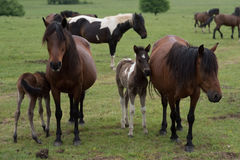 Colts with horses Stock Image