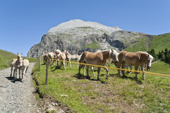 Colts and Horses during Summer, with Plattkofel in the background Royalty Free Stock Photos