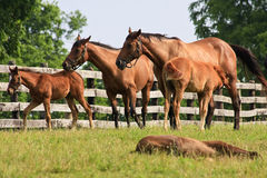 Colts and Mares. Cute Colts and Mares on a Horse Farm stock photography