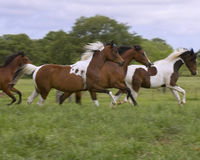 Colts running. Four pinto horse colts running in a pasture Stock Photo