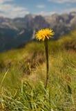 Coltsfood amarillo con las montañas en el fondo Imagenes de archivo
