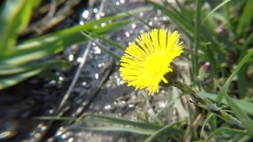 Coltsfoot, ιατρικό χορτάρι, λουλούδι την άνοιξη φιλμ μικρού μήκους