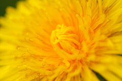 Coltsfoot Photographie stock