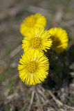 Coltsfoot Stock Photos