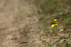 Coltsfoot Royalty Free Stock Images
