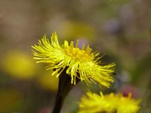 Coltsfoot Stock Foto's