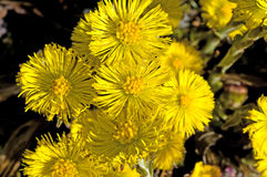Coltsfoot Royalty Free Stock Photos