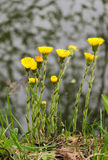 Coltsfoot Photo stock