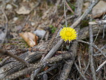 Coltsfoot Stockfoto
