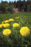 Coltsfoot. An a red wooden house - soft focus royalty free stock photo