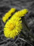 Coltsfoot Stockfotos