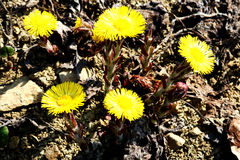 Coltsfoot Stock Foto