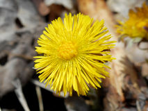 Coltsfoot Fotografia Stock