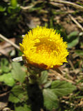 Coltsfoot Imagens de Stock Royalty Free