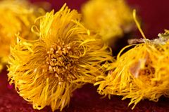 Coltsfoot Stock Image