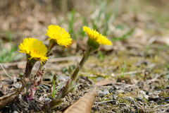 Coltsfoot di fioritura (farfara del Tussilago) Fotografia Stock Libera da Diritti