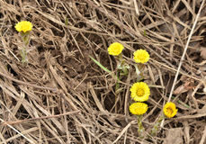 Coltsfoot - the first flowers of spring. Royalty Free Stock Photos