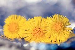 Coltsfoot, flores da mola Fotos de Stock