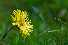 Coltsfoot flower in the green grass,  blurred background Royalty Free Stock Photo