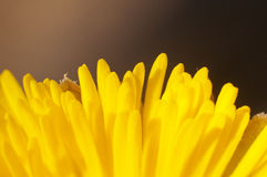 Coltsfoot flower macro Royalty Free Stock Image