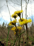 Coltsfoot flowers Royalty Free Stock Images