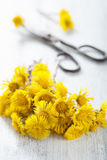 Coltsfoot flowers and scissors Stock Photography