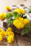 Coltsfoot flowers spring herbs and scissors Royalty Free Stock Photos