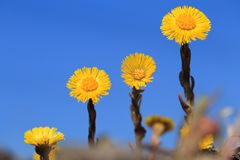 Coltsfoot flowers. Tussilago farfara. stock images