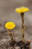 Coltsfoot flowers.(Tussilago farfara) Stock Image