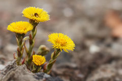 Coltsfoot flowers.(Tussilago farfara) Stock Photos