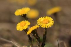 Coltsfoot flowers. Tussilago farfara. stock photography