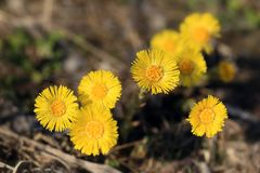 Coltsfoot flowers. Tussilago farfara. stock photos