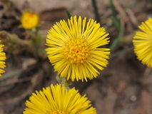 Coltsfoot, foalfoot Stockbild