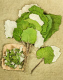 Coltsfoot, foalfoot. Dried herbs. Herbal medicine, phytotherapy medicinal Royalty Free Stock Photo