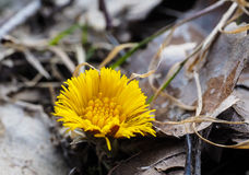 Coltsfoot growing inbetween old grey and brown leaves from autum Stock Photography