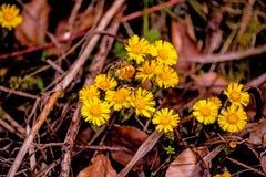Coltsfoot, Heilpflanze mit Blume im Frühjahr Stockfotografie