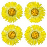 Coltsfoot isolated Royalty Free Stock Photo