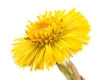 Coltsfoot kwiat Zdjęcia Royalty Free