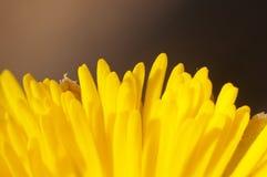 Coltsfoot kwiat makro- Obraz Royalty Free