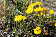 Coltsfoot kwiat & x28; Tussilago farfara& x29; Obraz Royalty Free
