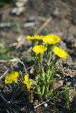 Coltsfoot kwiaty Obraz Stock