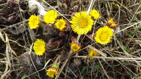 Coltsfoot kwiaty Obraz Stock
