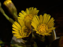 Coltsfoot kwiaty Obrazy Royalty Free